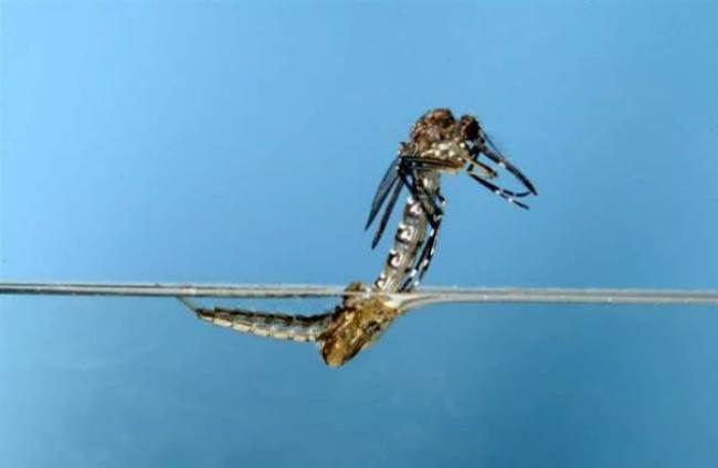 Amazing mosquito