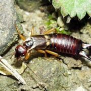 Awesome earwig