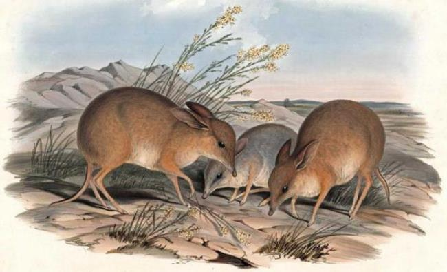 Beautiful bandicoots