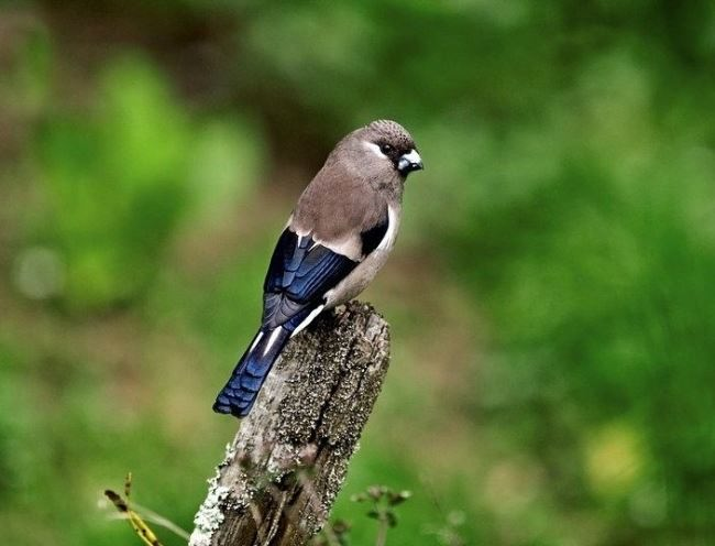 Brown bullfinch