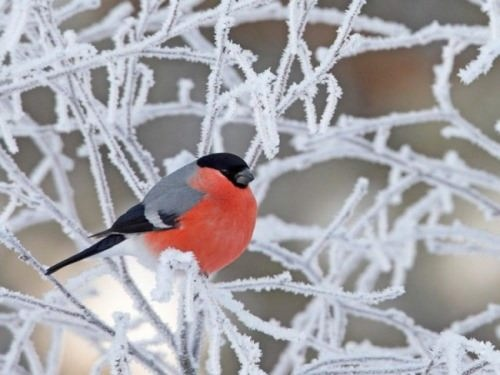 Bullfinch – red spot on snow