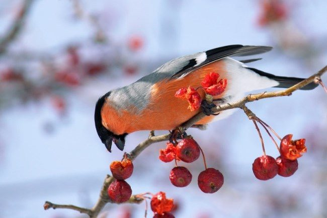 Cute bullfinch