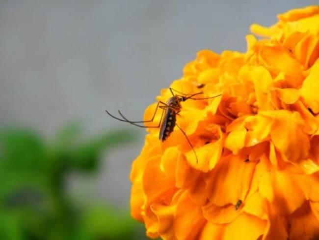 Cute male mosquito