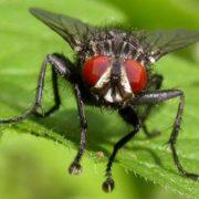 Dangerous fly