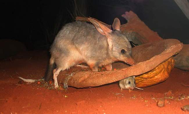 Female bandicoot and her baby