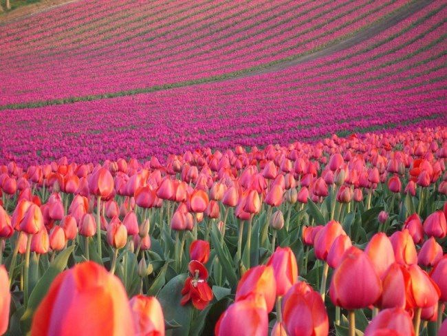 Fields of tulips in the Netherlands