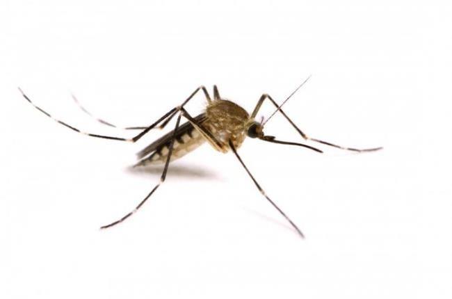 Interesting mosquitos