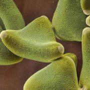 Oak pollen