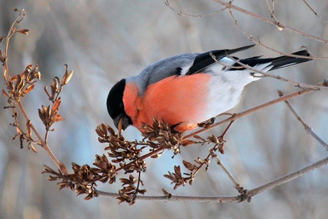 Pretty bullfinch