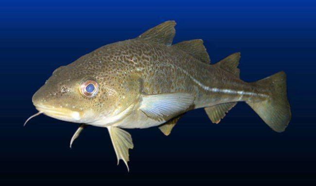 Pretty cod