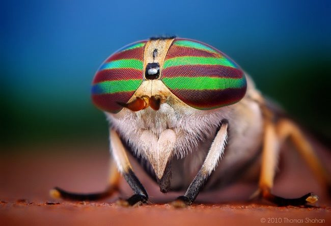 Tabanus lineola female. Photo by Thomas Shahan