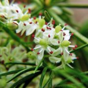 White flowers of asparagus
