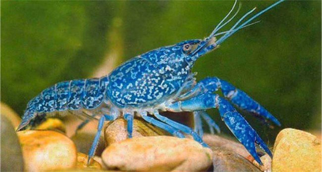 Amazing blue crayfish