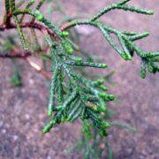 Amazing cypress