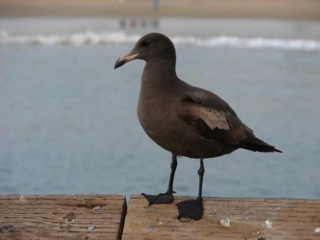 Amazing gull