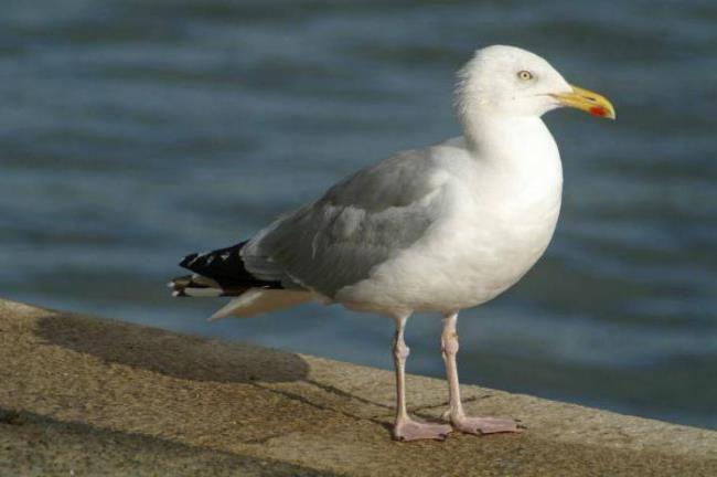 Astonishing gull