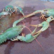 Attractive crayfish