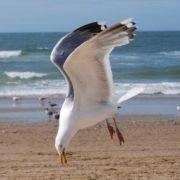 Beautiful gull