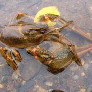 Charming crayfish