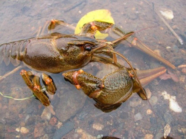 Charming crayfish