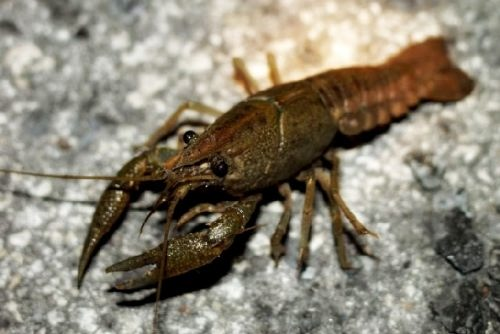 Crayfish – amazing creature