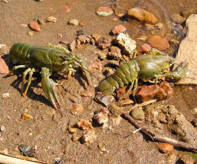 Cute crayfish