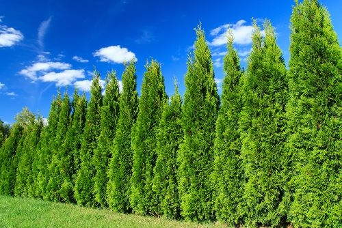 Cypress – evergreen tree
