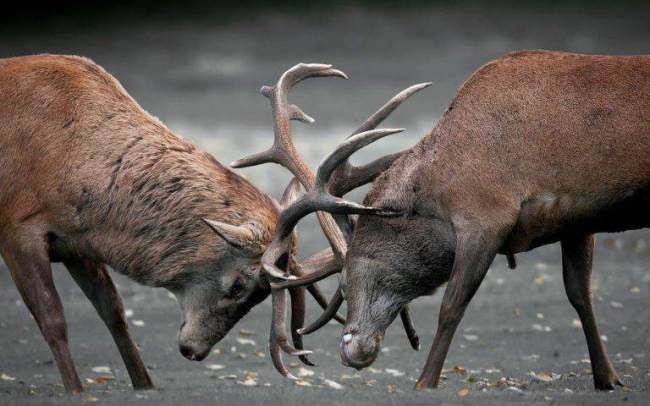 Deer are fighting