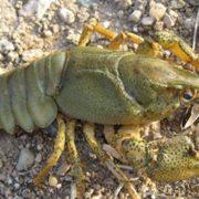 Interesting crayfish