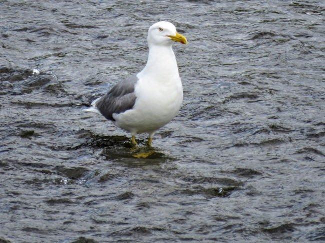 Interesting gull