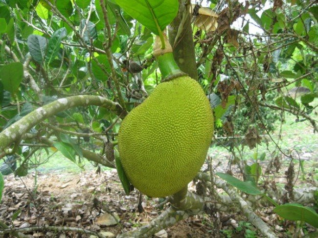 Interesting jackfruit