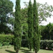 Lovely cypresses