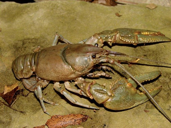 Magnificent crayfish