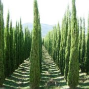 Magnificent cypresses
