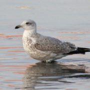 Magnificent gull