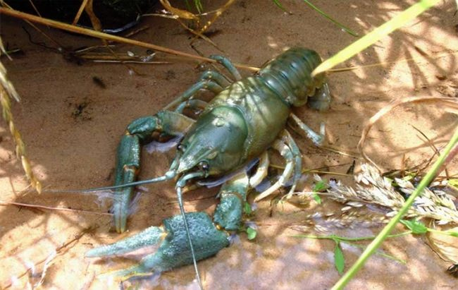 Pretty crayfish