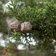 Pretty cypress cones
