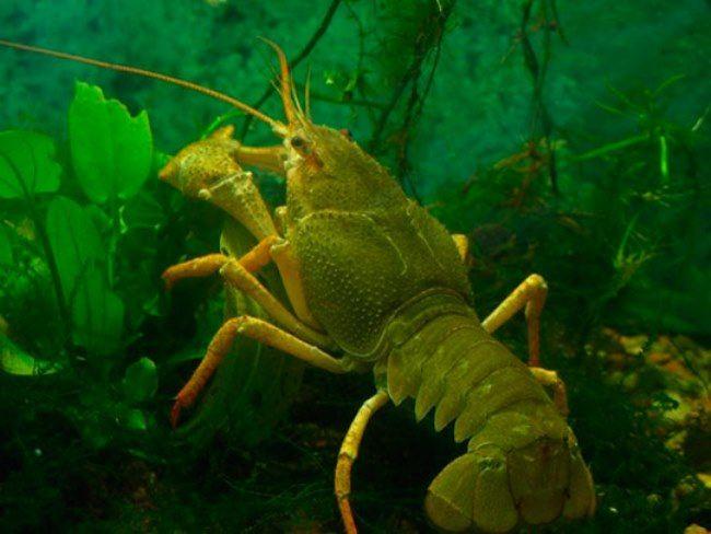 Stunning crayfish