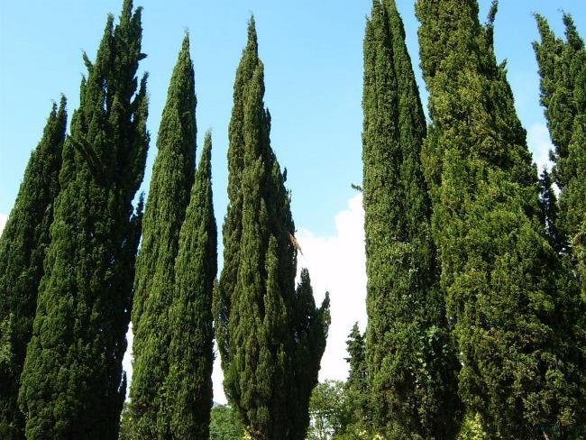 Stunning cypresses