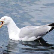 Stunning gull