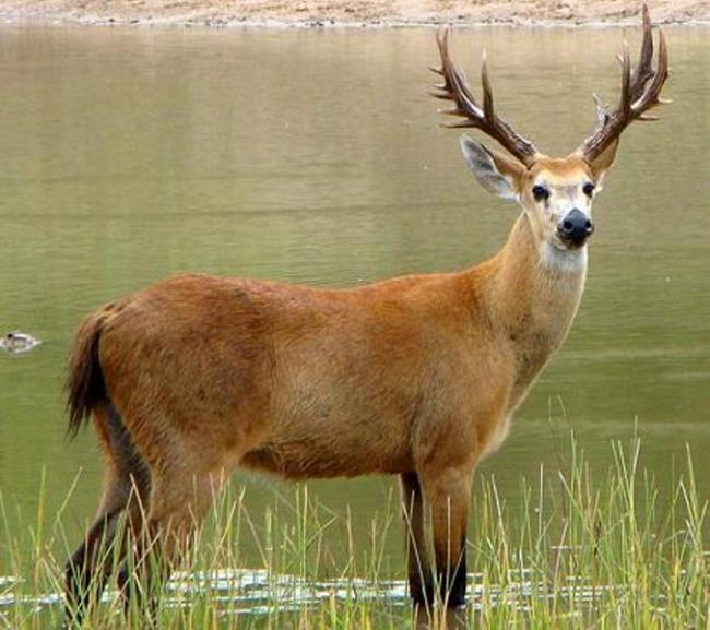 Wonderful deer