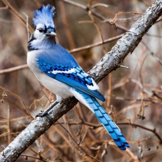 Common North American Blue jay