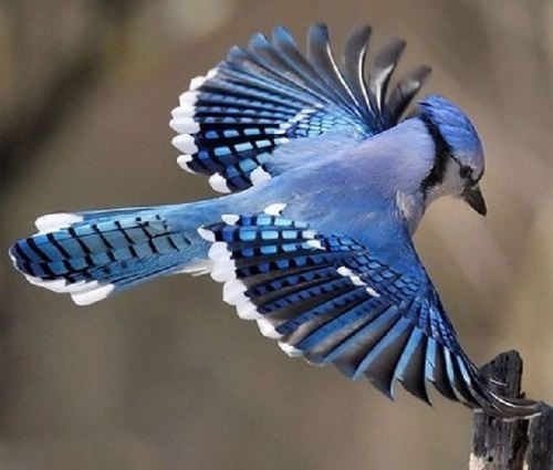 Cyanocitta cristata, or Common North American Blue jay
