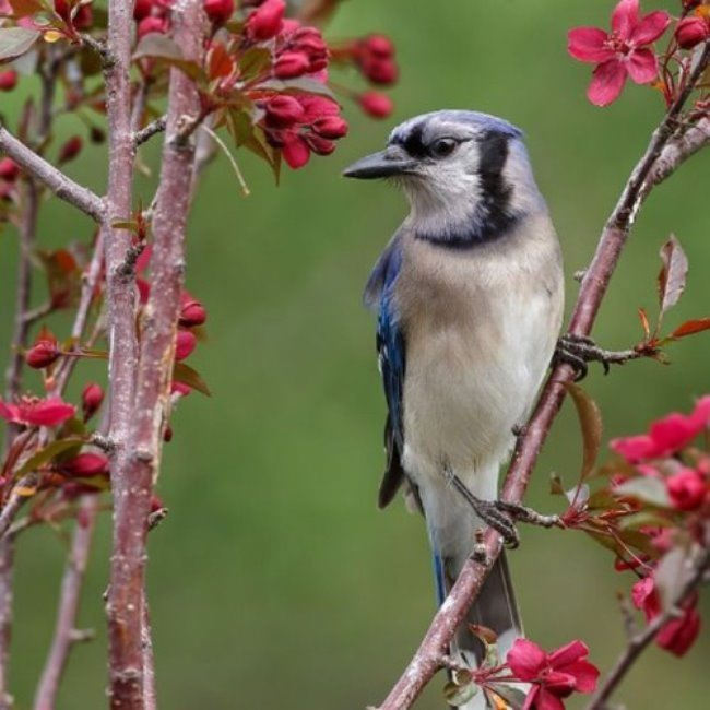 Common North American Blue jay