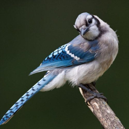 The use of the bird – it destroys beetles and caterpillar pests. Common North American Blue jay