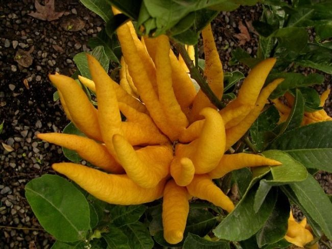 Exotic lemon yellow fruit Buddha's hand