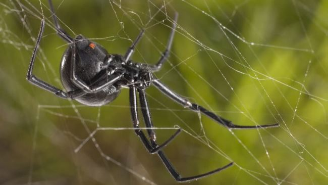 Horrible living creature Black widow spider