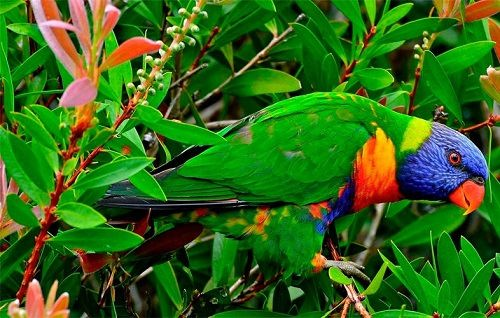 Rainbow Lorikeet colors