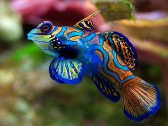 Blue-orange yellow Mandarin Dragonet fish Synchiropus splendidus
