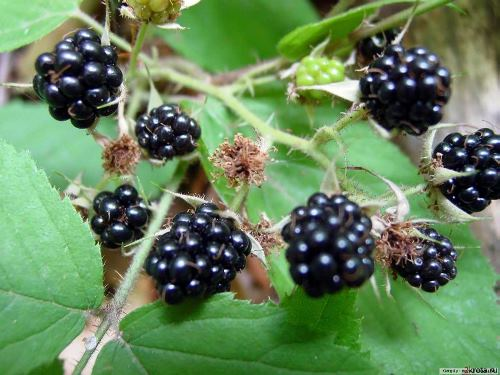 Blackberry interesting facts